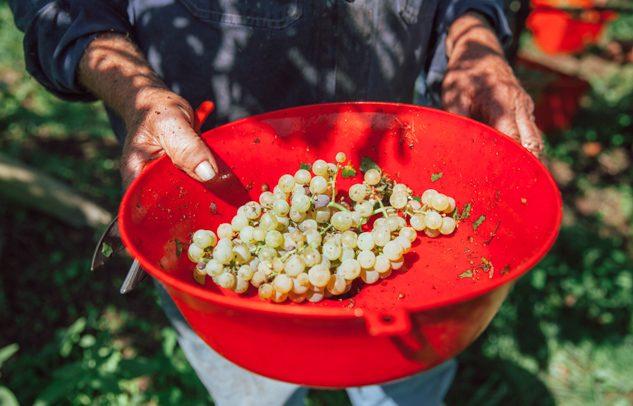 persona che tiene secchio con uva durante la vendemmia in Trentino